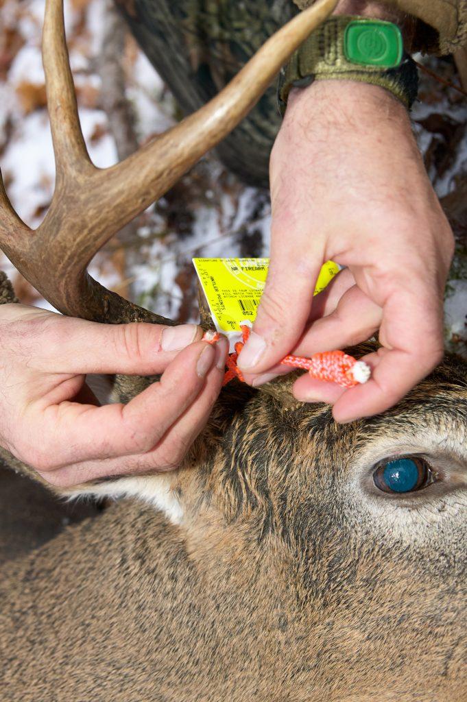 Tagging a deer